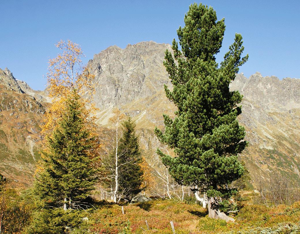 zirbenbaum